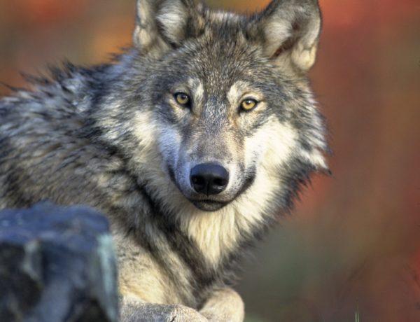 """""""Biegnąca z wilkami"""""""